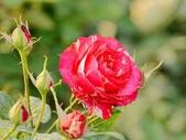 嬌豔的玫瑰花–5:S5345.JPG