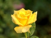 嬌豔的玫瑰花–5:S5346.JPG