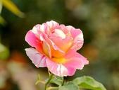 嬌豔的玫瑰花–5:S5347.JPG