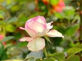 嬌豔的玫瑰花–5:S5325.JPG