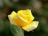 嬌豔的玫瑰花–5:S5342.JPG