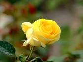 嬌豔的玫瑰花–5:S5326.JPG