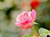 嬌豔的玫瑰花–5:S5327.JPG
