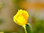 嬌豔的玫瑰花–5:S5322.JPG