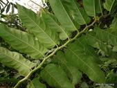 植物:球花嘉賜木(球花腳骨脆)Casearia glomerata