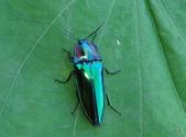 鞘翅目~~叩頭蟲 與吉丁蟲總科:Y7LA5O7qHaPtW5v37AjBdA.jpg