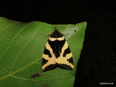 鱗翅目~~ 蛾類:Numenes albofascia albofascia (Leech, [1889]) (暫名)