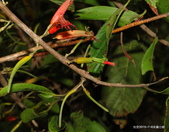 植物:李棟山桑寄生 Taxillus ritozanensis (Hayata) Chiu, 1996.