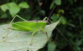 直翅目 與  竹節蟲目:2BLABCLYkwog0scv8c1LIg.jpg