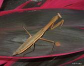 蜻蛉目 與 螳螂目:枯葉大刀螳Tenodera aridifolia (Stoll, 1813)