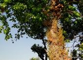 植物:砲彈樹 Couroupita guianensis Aubl.,Kigelia Africana
