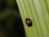 鞘翅目  扁甲總科Cucujoidea:Tritoma metasobrina Chûjô, 1941  蓬萊紅紋迷你大蕈蟲