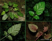 植物:田代氏鼠尾草Salvia tashiroi Hayata