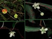 植物:南五味子Kadsura japonica (L.) Dunal, 1817. Schisandraceae五味子科  Kadsura南五味子屬.