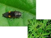 鞘翅目~~叩頭蟲 與吉丁蟲總科:K7GbLmPXI9EPWwhcNMkr_A.jpg