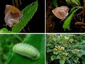 昆蟲 vs 植物: 凹翅紫灰蝶Mahathala ameria hainani Bethune-Baker, 1903
