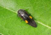 鞘翅目~~叩頭蟲 與吉丁蟲總科:黃星方肩吉丁蟲 Acmaeodera(Cobosiella)luzonica volkovitshi Holynski, 1993