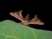 鱗翅目~~ 蛾類:褐斑白蠶蛾Triuncina brunnea (Wileman, 1911)