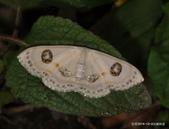 鱗翅目~~ 蛾類:雙目白姬尺蛾Problepsis albidior matsumurai Prout, 1938