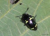 鞘翅目  扁甲總科Cucujoidea:紅帶大蕈甲屬Episcapha sp