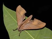 鱗翅目~~ 蛾類:直翅六點天蛾 Marumba cristata bukaiana Clark, 1937.