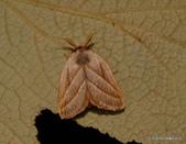 鱗翅目~~ 蛾類:灰雙線刺蛾 Cania heppneri Inoue, 1992