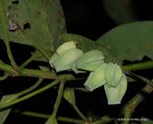 雙翅目 與  膜翅目:蟲癭Insect Galls :雙翅目癭蚋