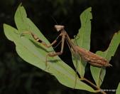 蜻蛉目 與 螳螂目:1-129-DSC08291.JPG