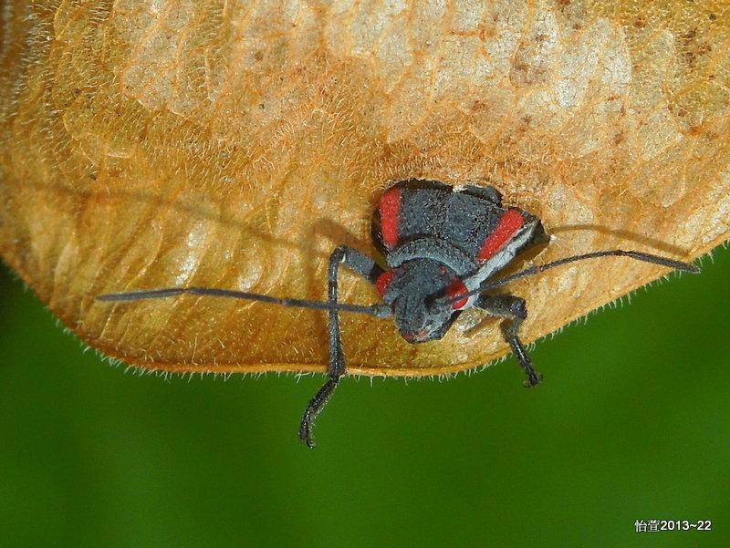 人文:紅肩美姬緣蝽Jadera haematoloma( Herrich-Schäffer , 1847)