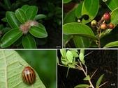 昆蟲 vs 植物:魯花樹Scolopia oldhamii Hance, 1866