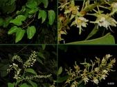 植物:菊花木 Bauhinia championii (Benth.) Benth., 1861. Magnoliopsida木蘭綱 Fabaceae豆科  Bauhinia羊蹄甲屬.
