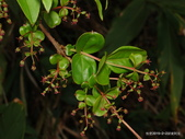 植物:台灣馬桑Coriaria intermedia Matsum