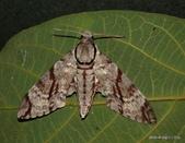 鱗翅目~~ 蛾類:粗斜紋天蛾 Meganoton analis gressitti Clark,1937