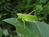 直翅目 與  竹節蟲目:6DKpAIvKCKMNwigQamOuSQ.jpg