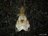 鱗翅目~~ 蛾類:灰白毒蛾  Pida decolorata maculosa Matsumura ,1911 Lepidoptera 鱗翅目 Lymantriidae 毒蛾科  Pida屬.
