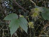 植物:銹毛鐵線蓮 Clematis leschenaultiana DC., 1817.
