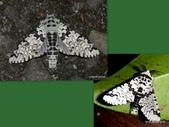 鱗翅目~~ 蛾類:尖鋸舟蛾(左)平波舟蛾(右)