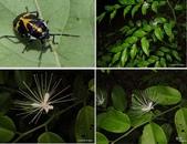 昆蟲 vs 植物:彩椿象Stenozygum speciosum (Dallas, 1851)