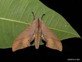 鱗翅目~~ 蛾類:楠六點天蛾 Marumba cristata bukaiana Clark, 1937.