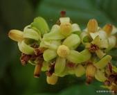 植物:山陀兒 Sandoricum indicum Cav.