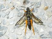 鱗翅目~~ 蛾類:長足褐脛透翅蛾Teinotarsina longitarsa