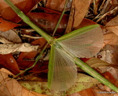 直翅目 與  竹節蟲目:台灣半板竹節蟲  Hemiplasta sp. 雌