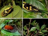 昆蟲 vs 植物:水雞油Pouzolzia elegans Wedd., 1869