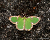 鱗翅目~~ 蛾類:憶亞四目綠尺蛾Comostola cedilla Prout, 1917