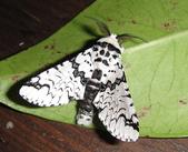 鱗翅目~~ 蛾類:平波舟蛾  Neocerura liturata (Walker, 1855)