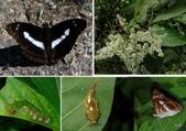 昆蟲 vs 植物:小單帶蛺蝶(異紋帶蛺蝶) Athyma selenophora laela (Fruhstorfer, 1908)