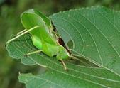 直翅目 與  竹節蟲目:1J4_4bbkg_IDuUO_MN7gTA.jpg