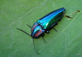 鞘翅目~~叩頭蟲 與吉丁蟲總科:紅緣大青叩頭蟲Campsosternus yasuakii Suzuki, 2002
