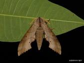 鱗翅目~~ 蛾類:栗六點天蛾Marumba sperchius horiana Clark, 1937