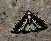 鱗翅目~~ 蛾類:輻射夜蛾 Apsarasa radians (Westwood, 1848)